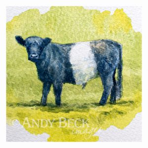Young Beltie (Belted Galloway)