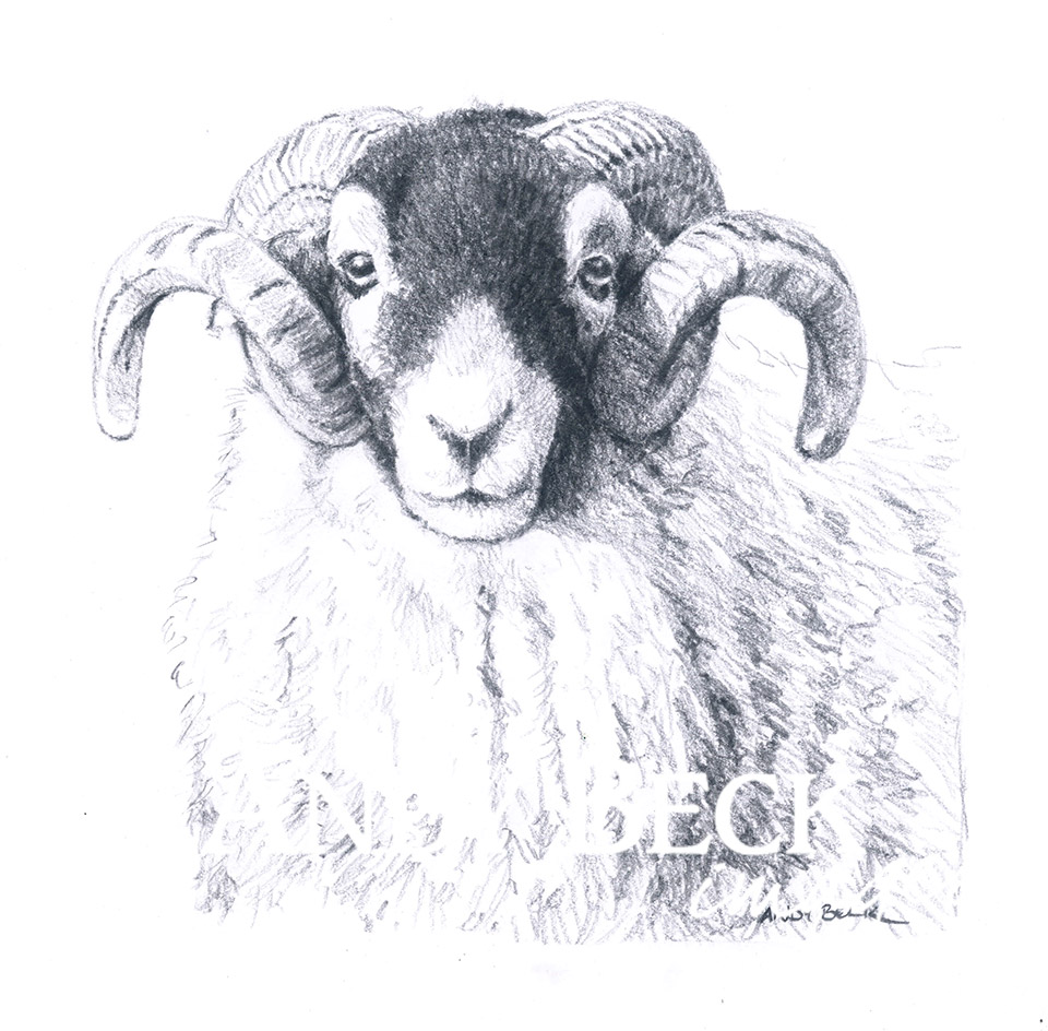 Swaledale Tup pencil drawing limited edition print