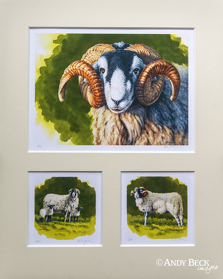 Swaledale sheep print set